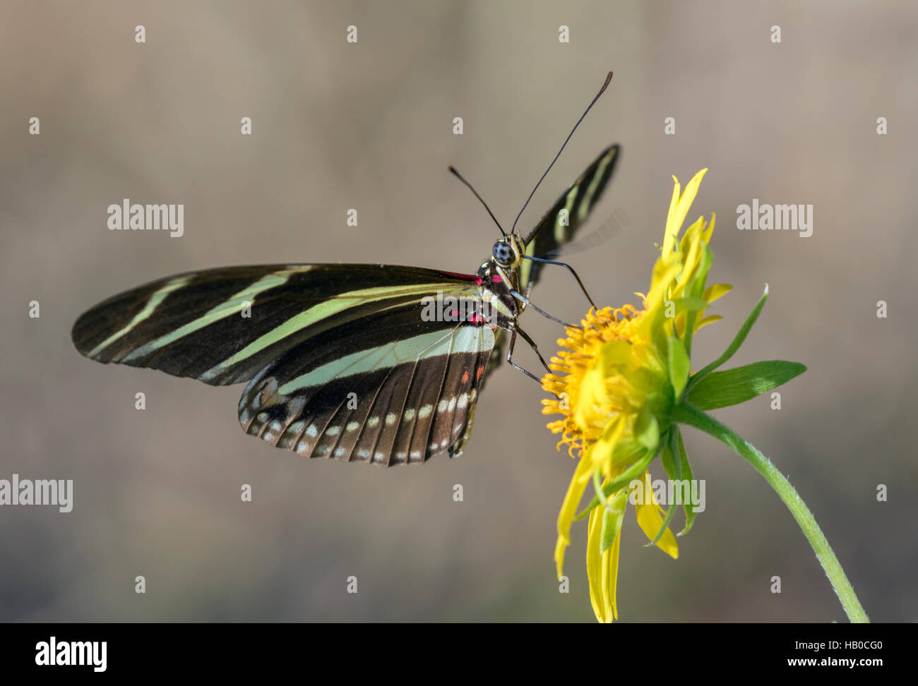 Zebra Longwing Butterfly (Heliconius charitonius) feeding in a sunny meadow, Aransas, Texas, USA - Stock Image