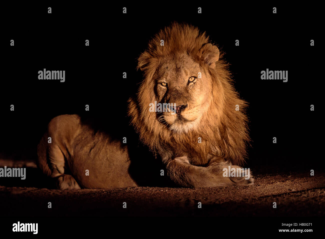 Stunning male lion laying down in the cover of darkness - Stock Image
