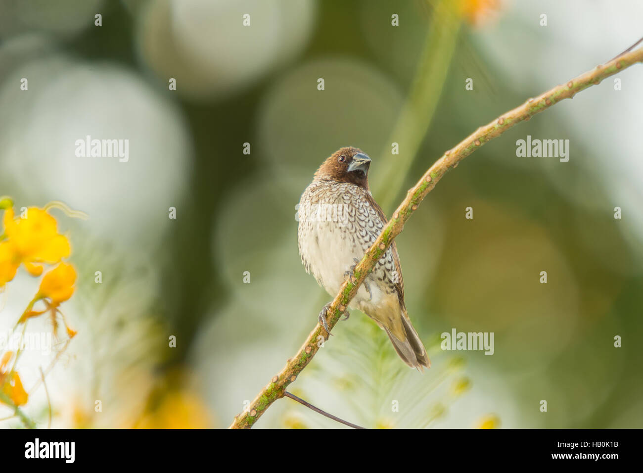 Scaly-breasted Munia Bird in the garden - Stock Image