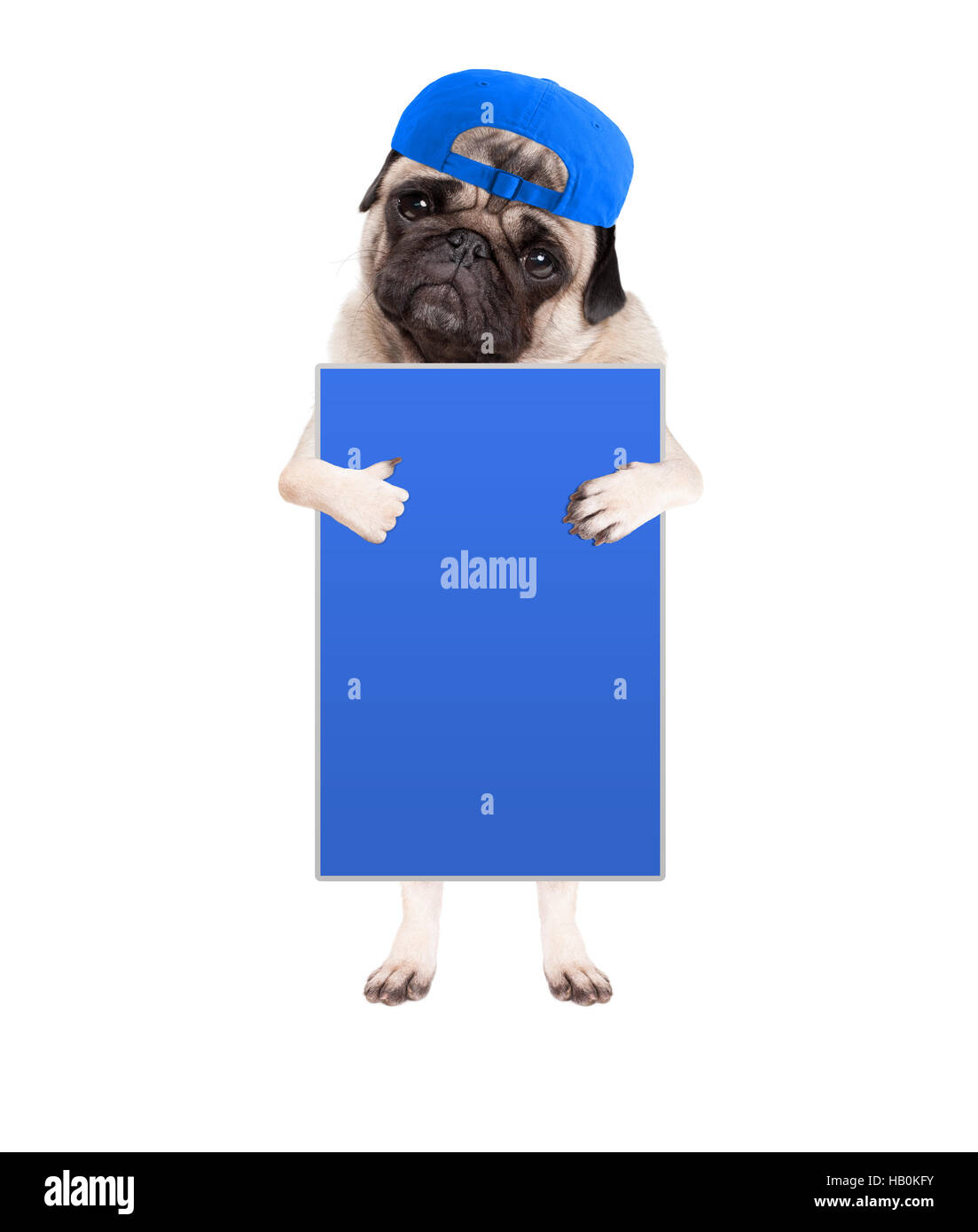 cute pug puppy dog with cap, standing up holding blank blue sign and giving a like with thumb, isolated on white Stock Photo