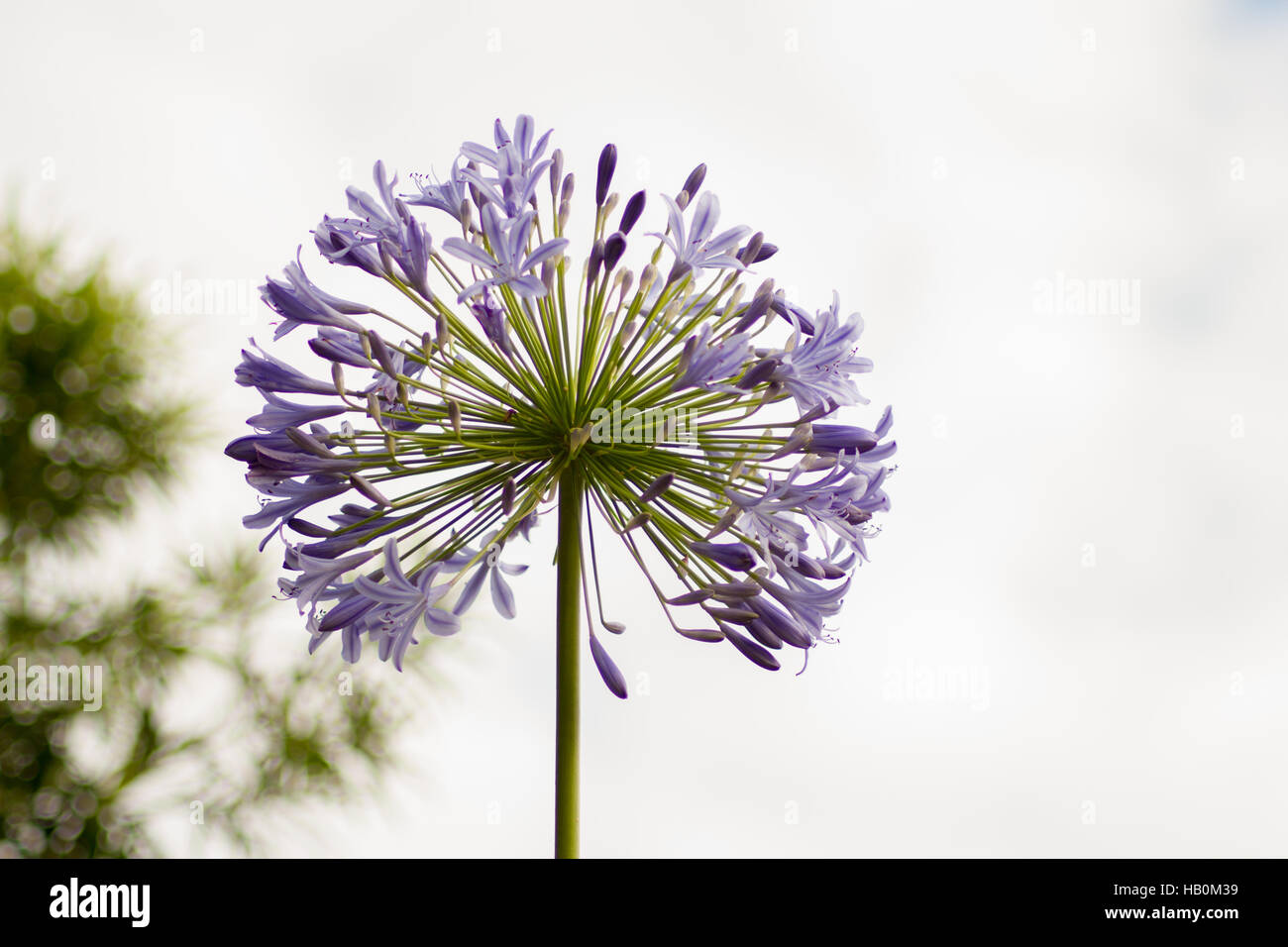 African agapanthus (Agapathus africanus) - Stock Image