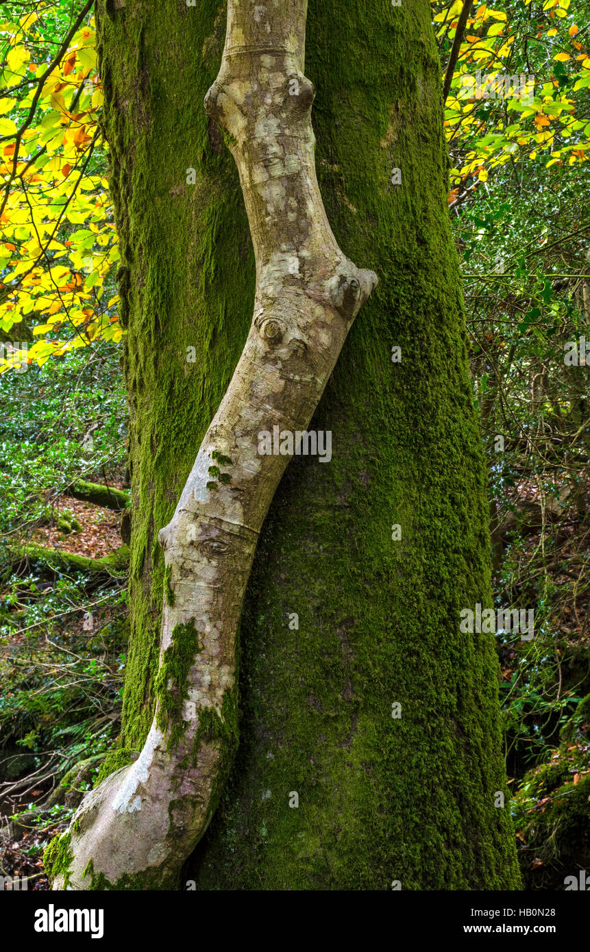 contrasting tree trunks in new forest hampshire - Stock Image