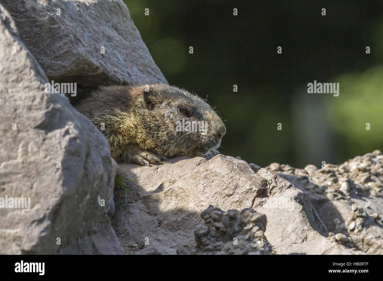 Marmot (Marmota monax) - Stock Image