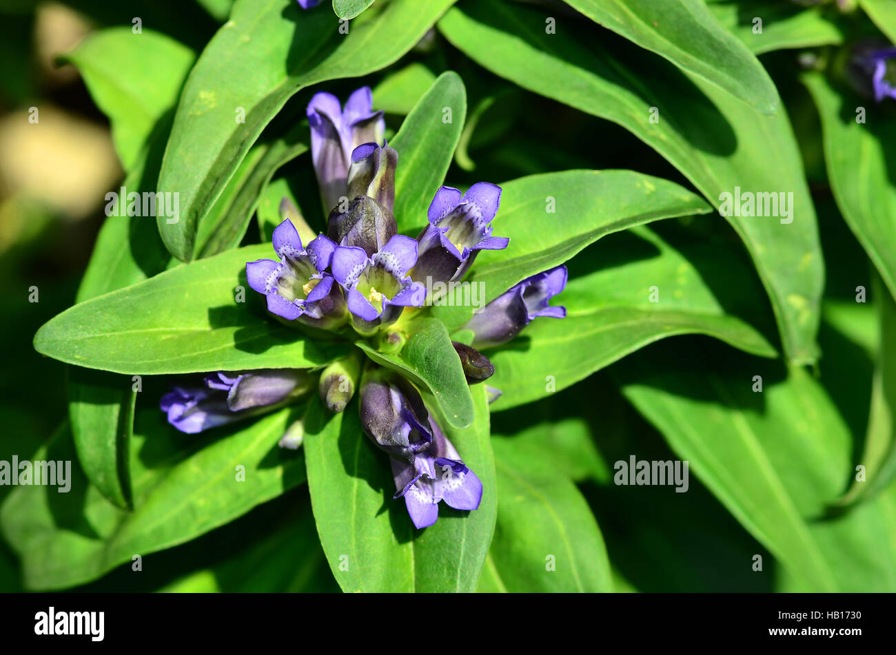 gentians; cross gentian; flower; blossom; - Stock Image