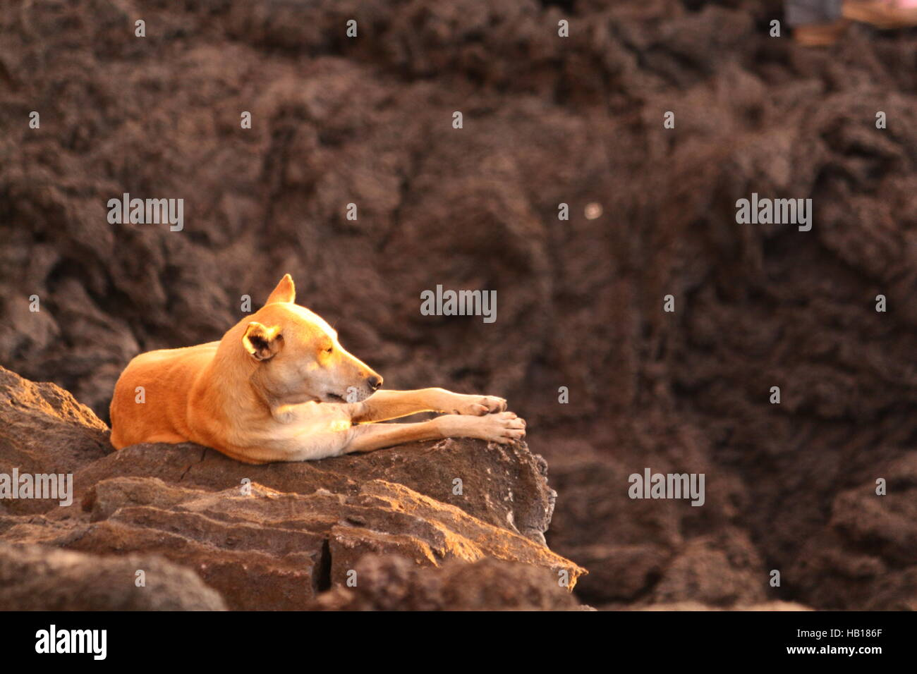 Stray yellow dog lies on lava formation in sun. Lava field in background. Guatemala, Volcano Pacaya. - Stock Image