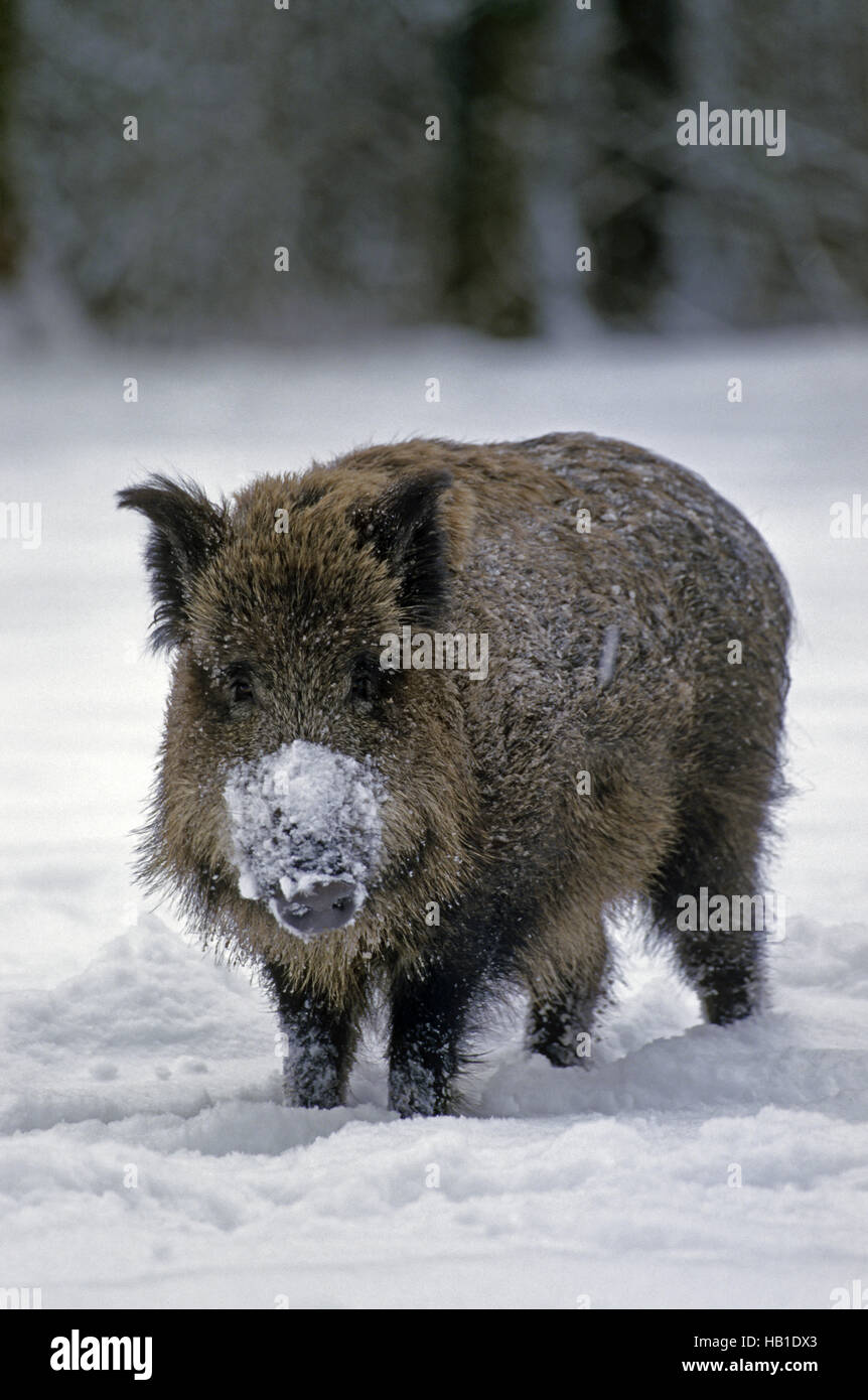 Young Wild Boar in winter - Stock Image