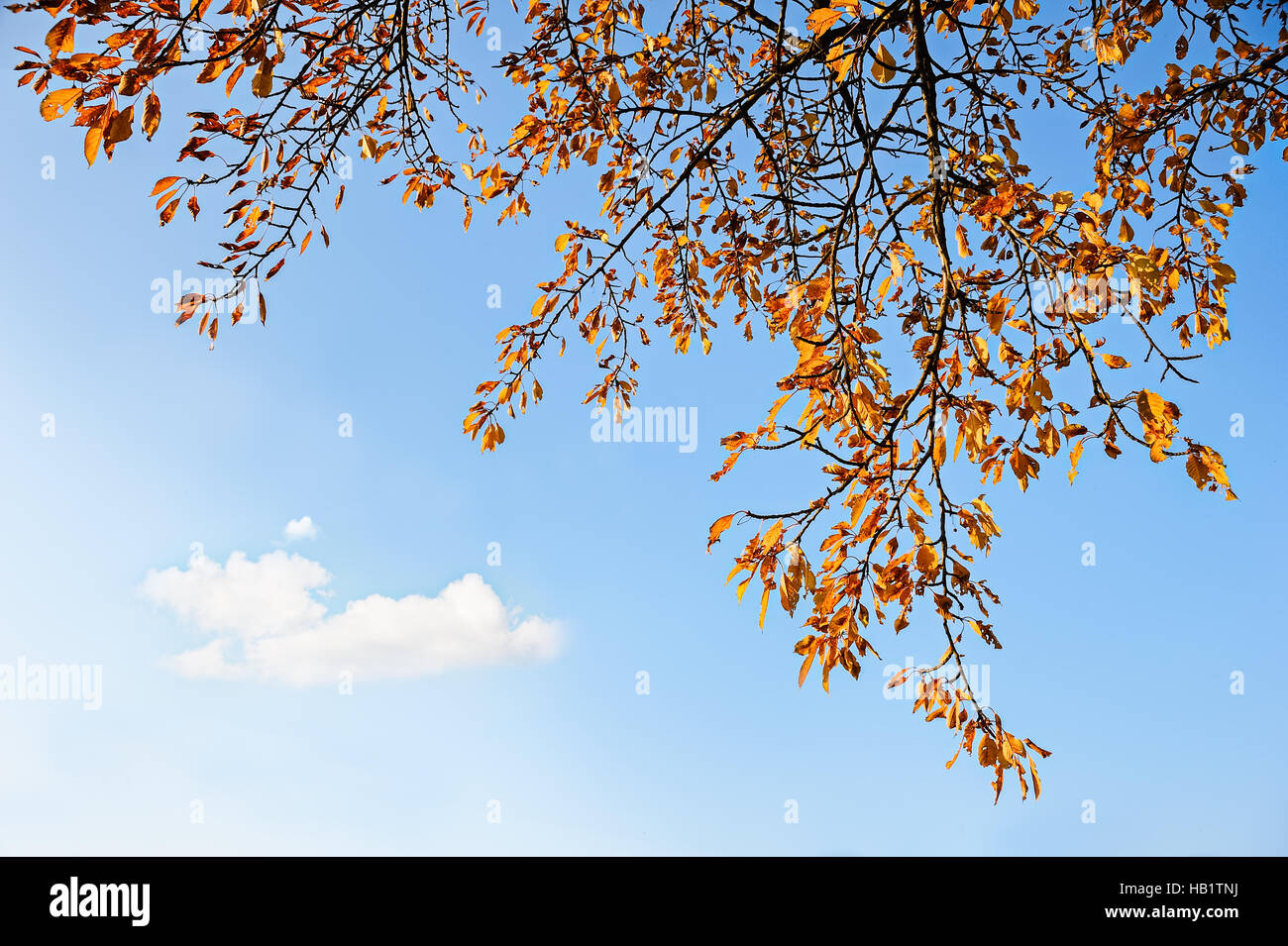 Branch and autumn leaves against a blue sky - Stock Image