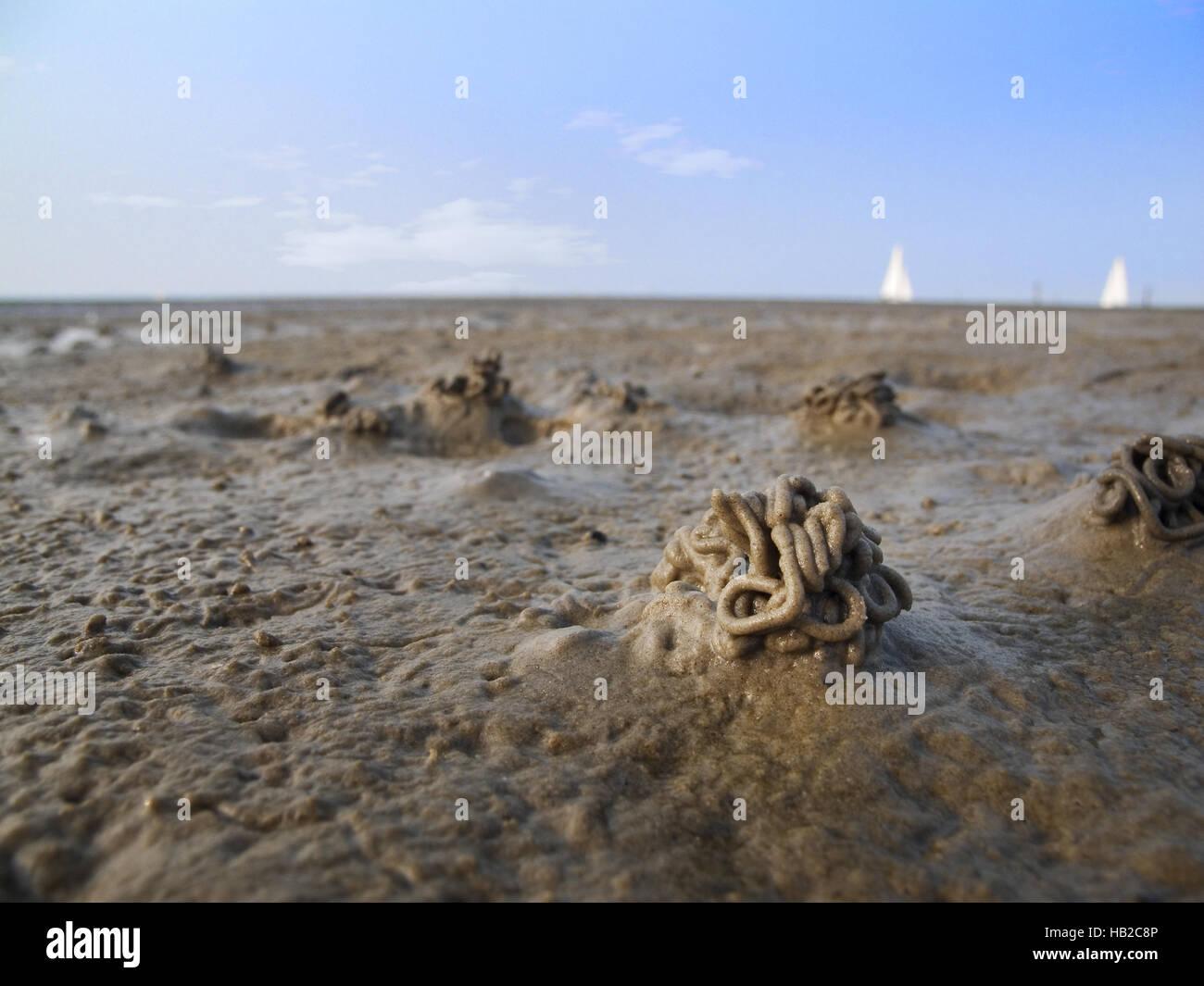 Lugworm bunch - Stock Image