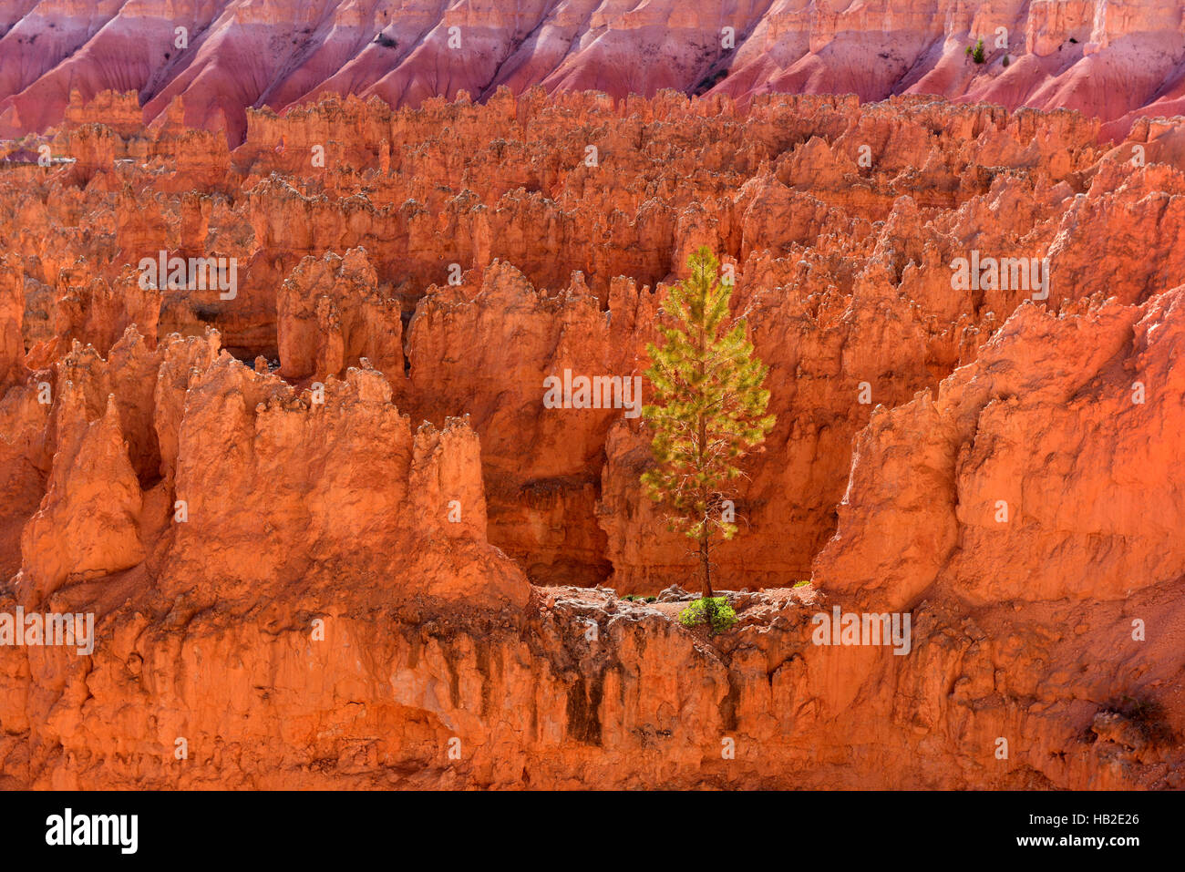 A tree on a ridge in Bryce Canyon National Park, Utah USA - Stock Image
