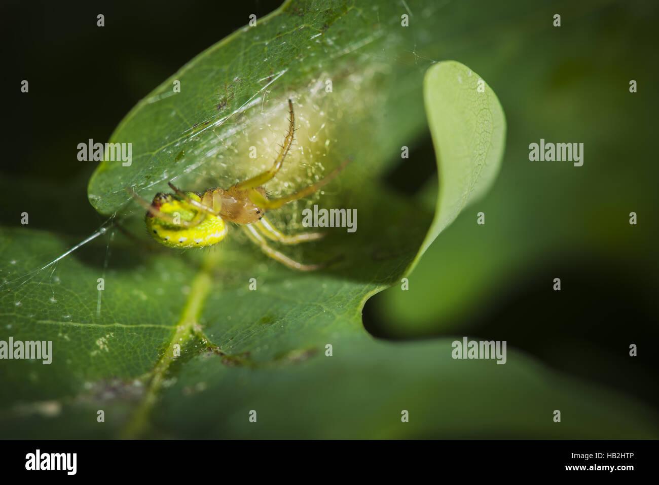 Araniella cucurbitina on leaf - Stock Image