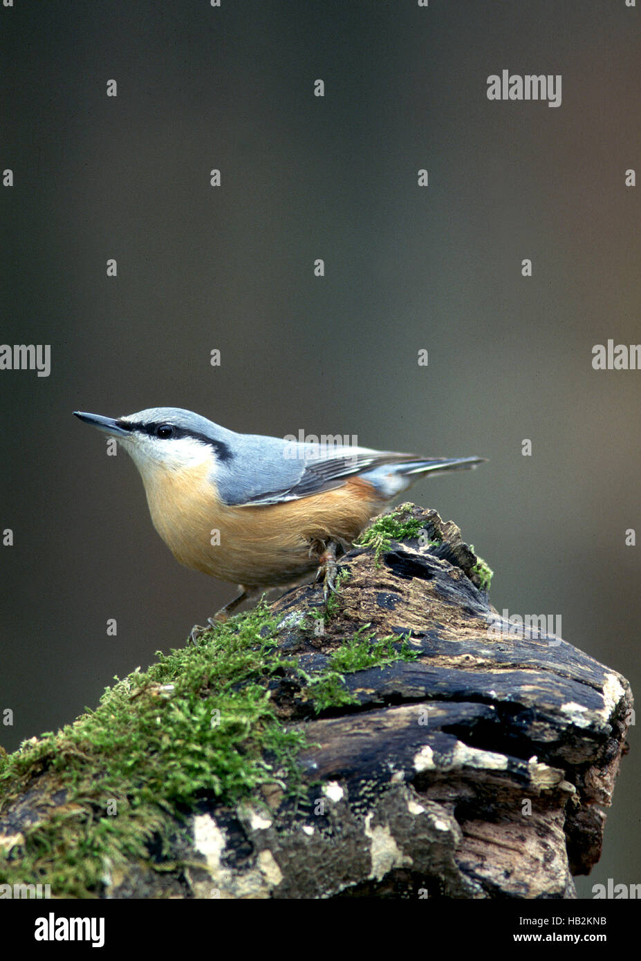 nuthatch, songbird, - Stock Image
