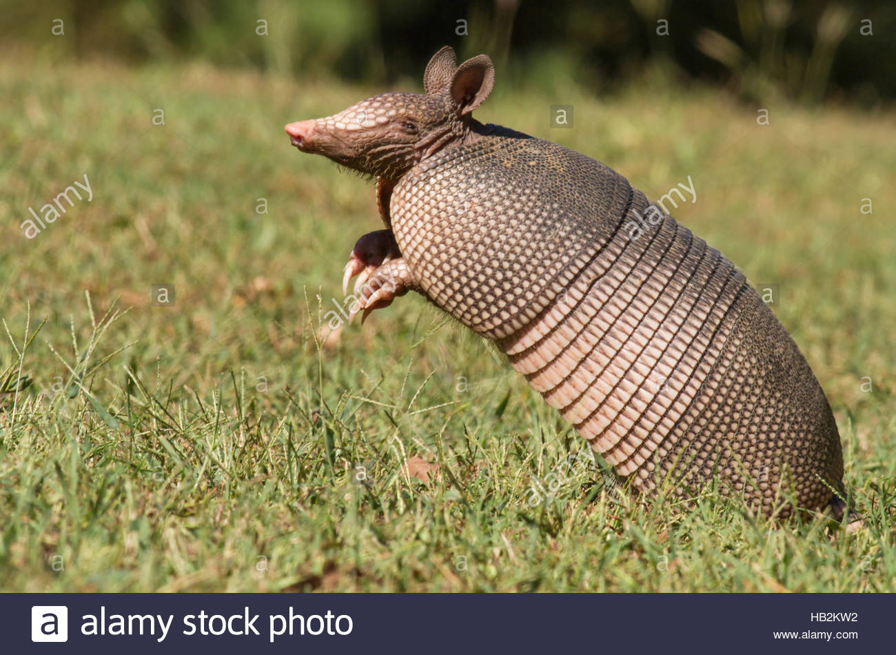 A Texas Armadillo (Dasypus novemcinctus) smelling the air trying to catch a scent. - Stock Image