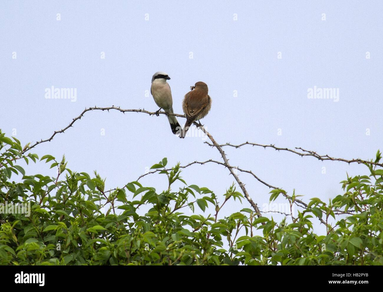 Red-backed Shrike, Cape Kaliakra, Bulgaria Stock Photo