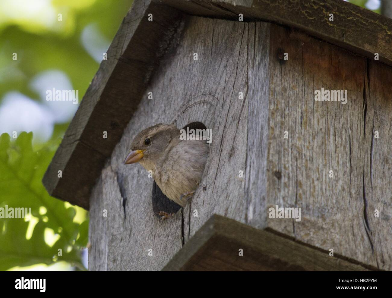 House Sparrow near Goritsa, Bulgaria Stock Photo