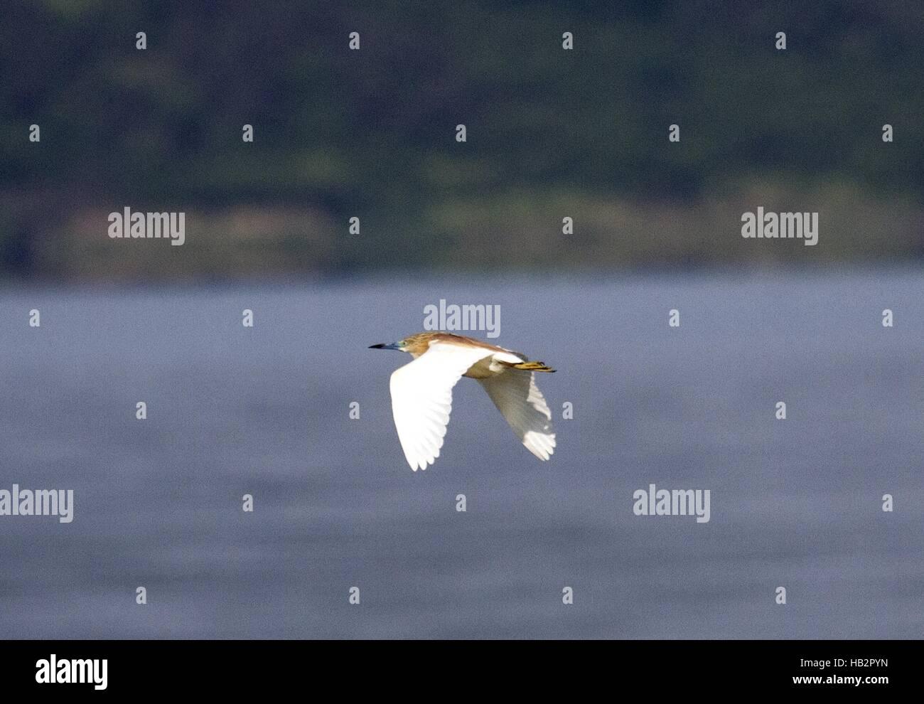 Squacco Heron, Vaya Lake, Burgas, Bulgaria Stock Photo