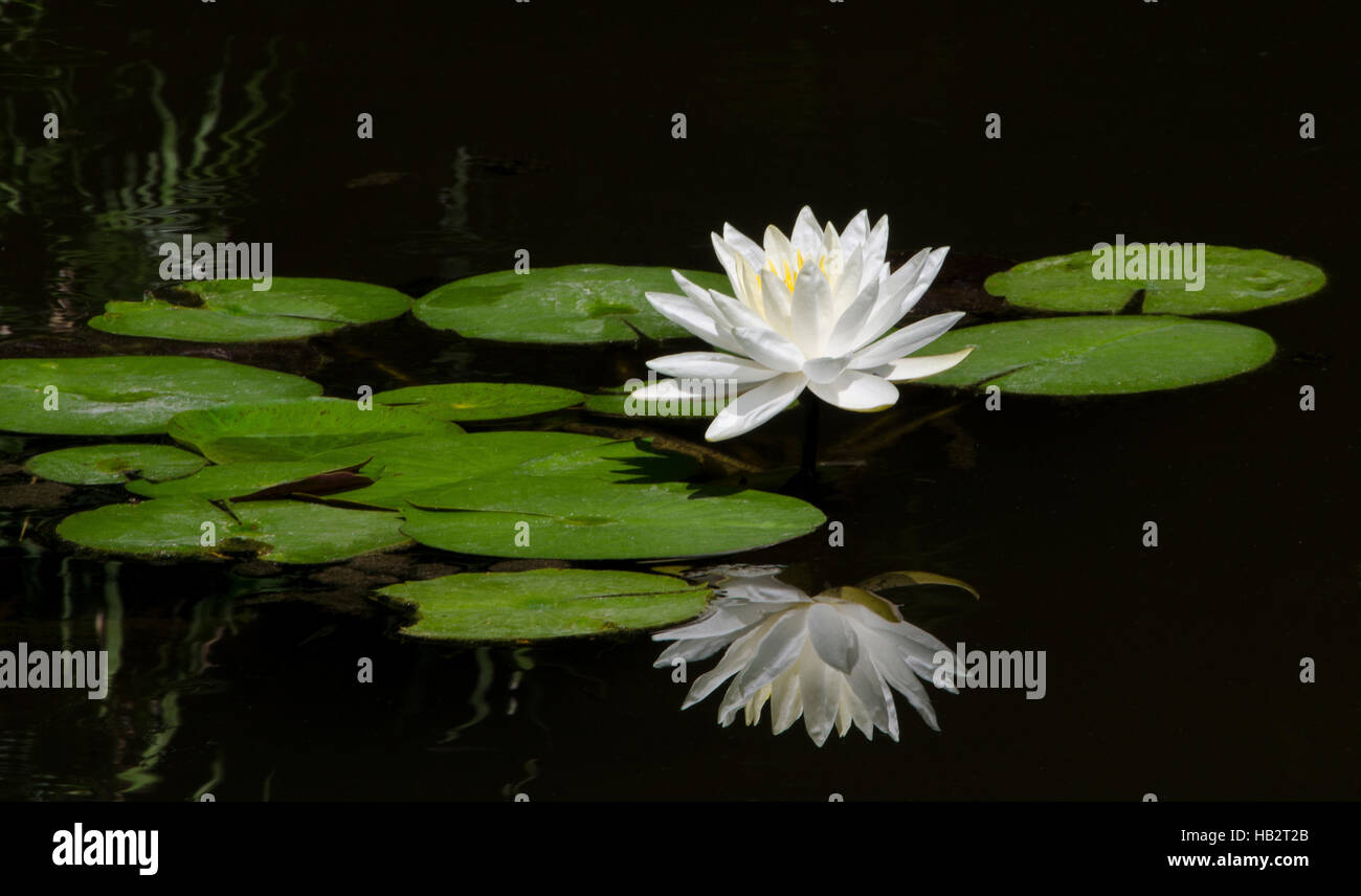 Lily pad, flower and reflection - Stock Image
