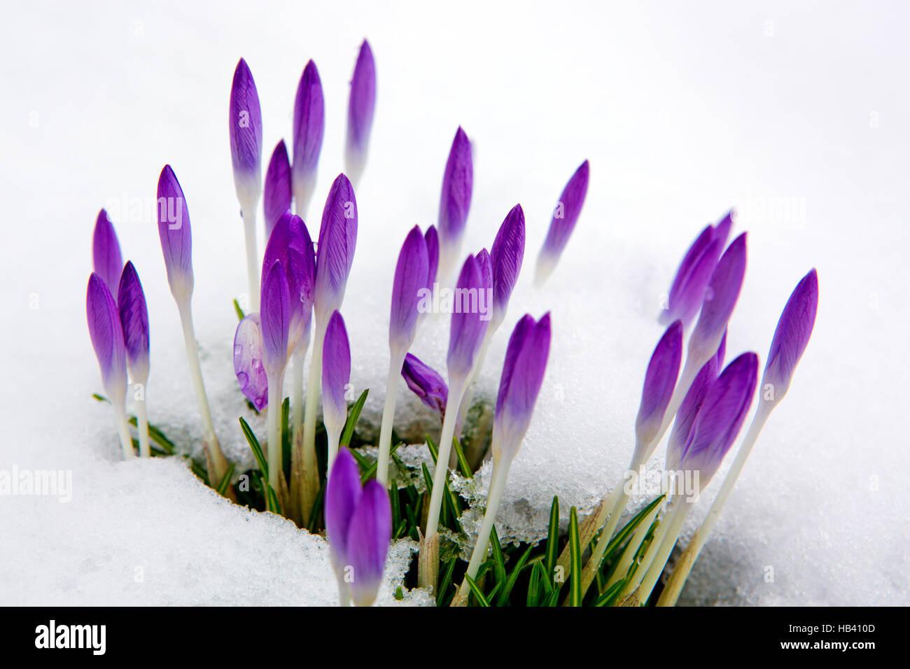 Violet crocuses in snow. Stock Photo