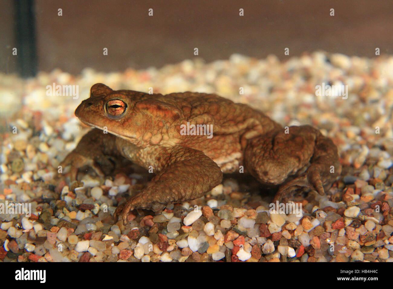 European toad Stock Photo