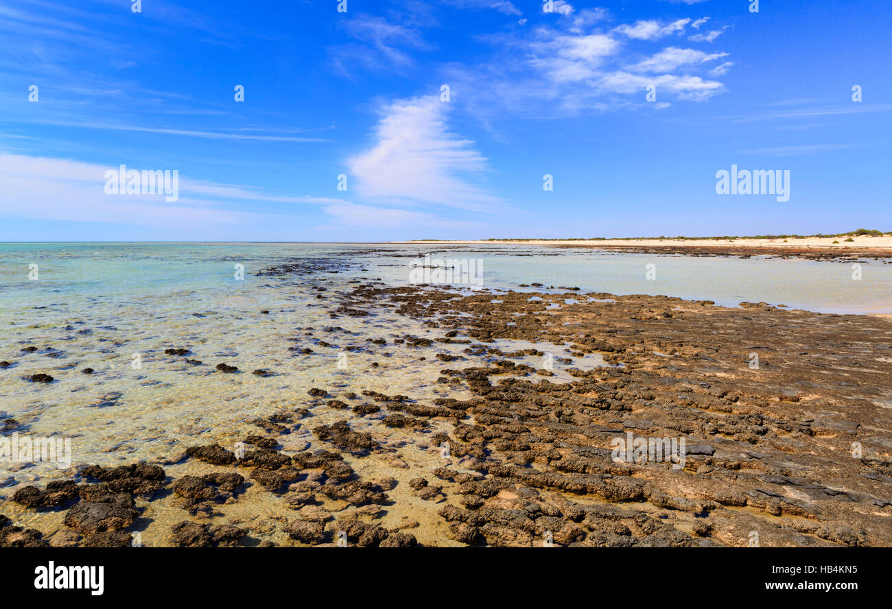 Stromatolites at Hamelin Pool Marine Nature Reserve. Shark Bay, Western Australia - Stock Image