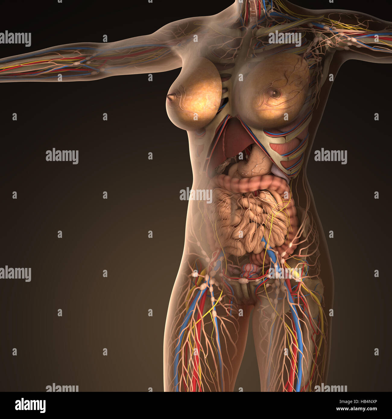 Anatomy Of Human Organs With Bones In Transparent Body Stock Photo