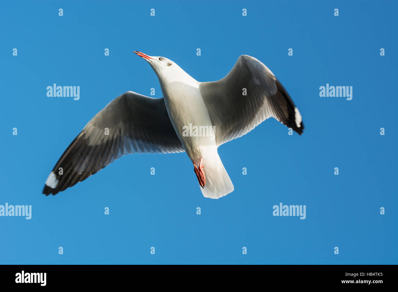 Seagull soars up against the blue sky - Stock Image