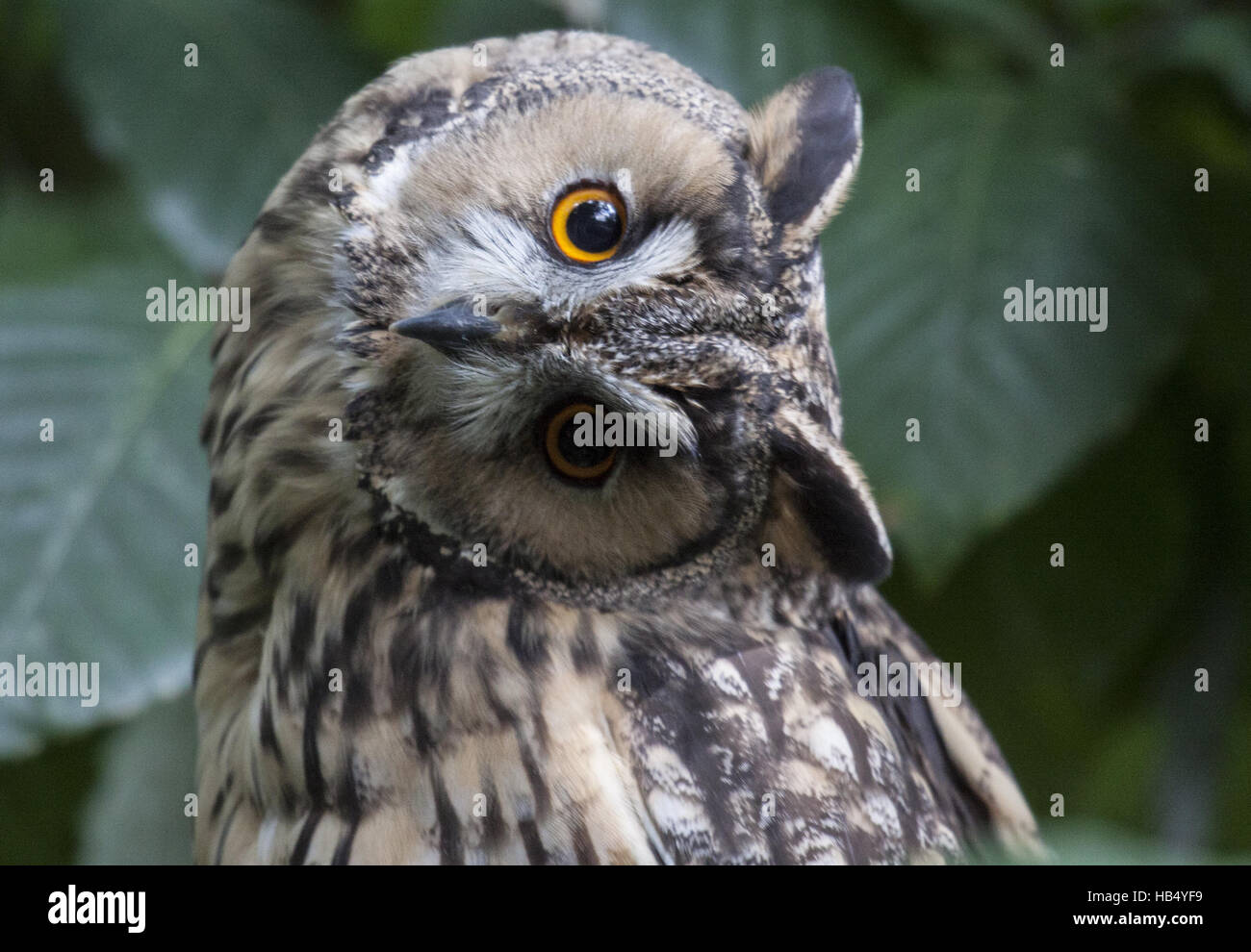 Long-eared Owl - Stock Image