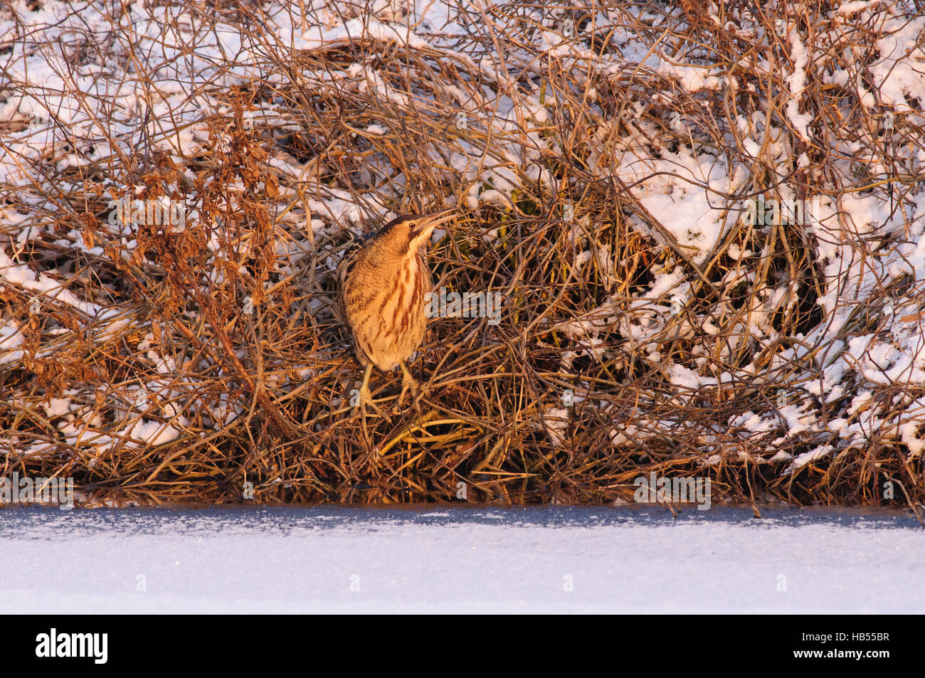 Great Bittern on ice and snow - Stock Image
