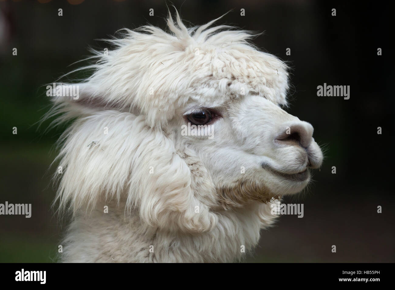 Llama (Lama glama). Domestic animal. - Stock Image