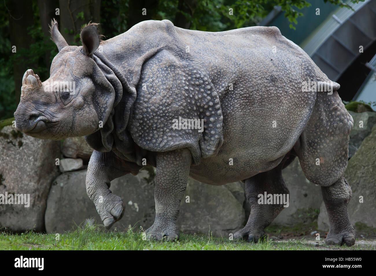 Indian rhinoceros (Rhinoceros unicornis) at Hellabrunn Zoo in Munich, Bavaria, Germany. - Stock Image