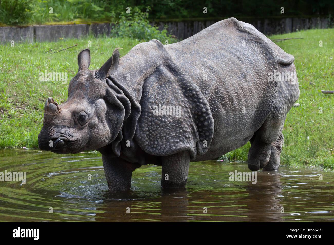 Indian rhinoceros (Rhinoceros unicornis). Wildlife animal. - Stock Image