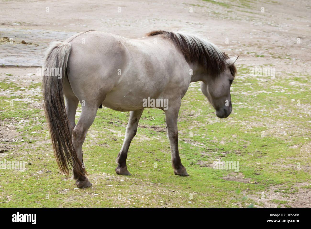 Heck horse (Equus ferus caballus), claimed to resemble the extinct tarpan (Equus ferus ferus) at Hellabrunn Zoo - Stock Image
