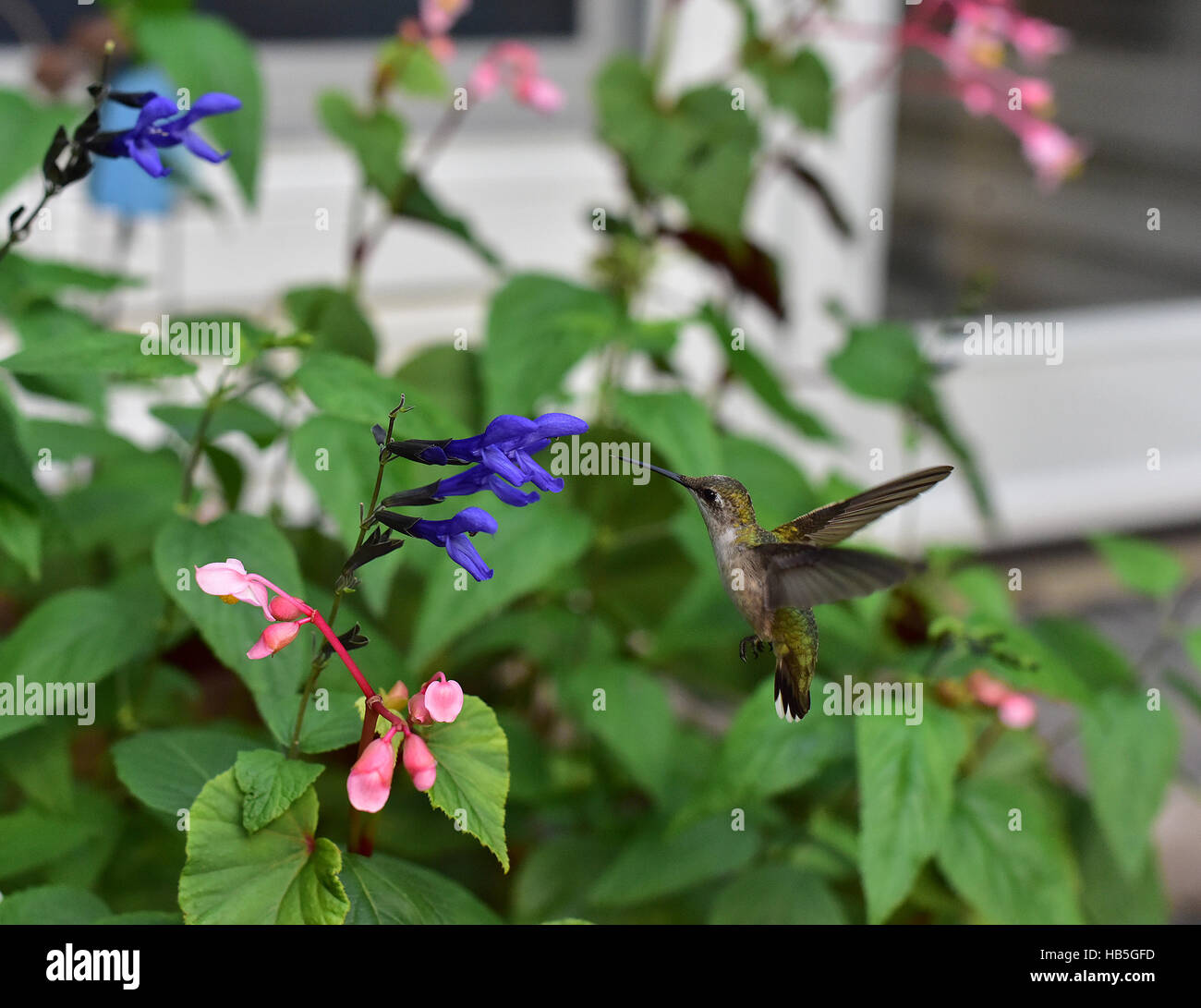 Hummingbird (Archilochus colubris) hovering to inspect a flower on a Butterfly Bush (Asclepias syriaca) before gathering its nectar. Stock Photo