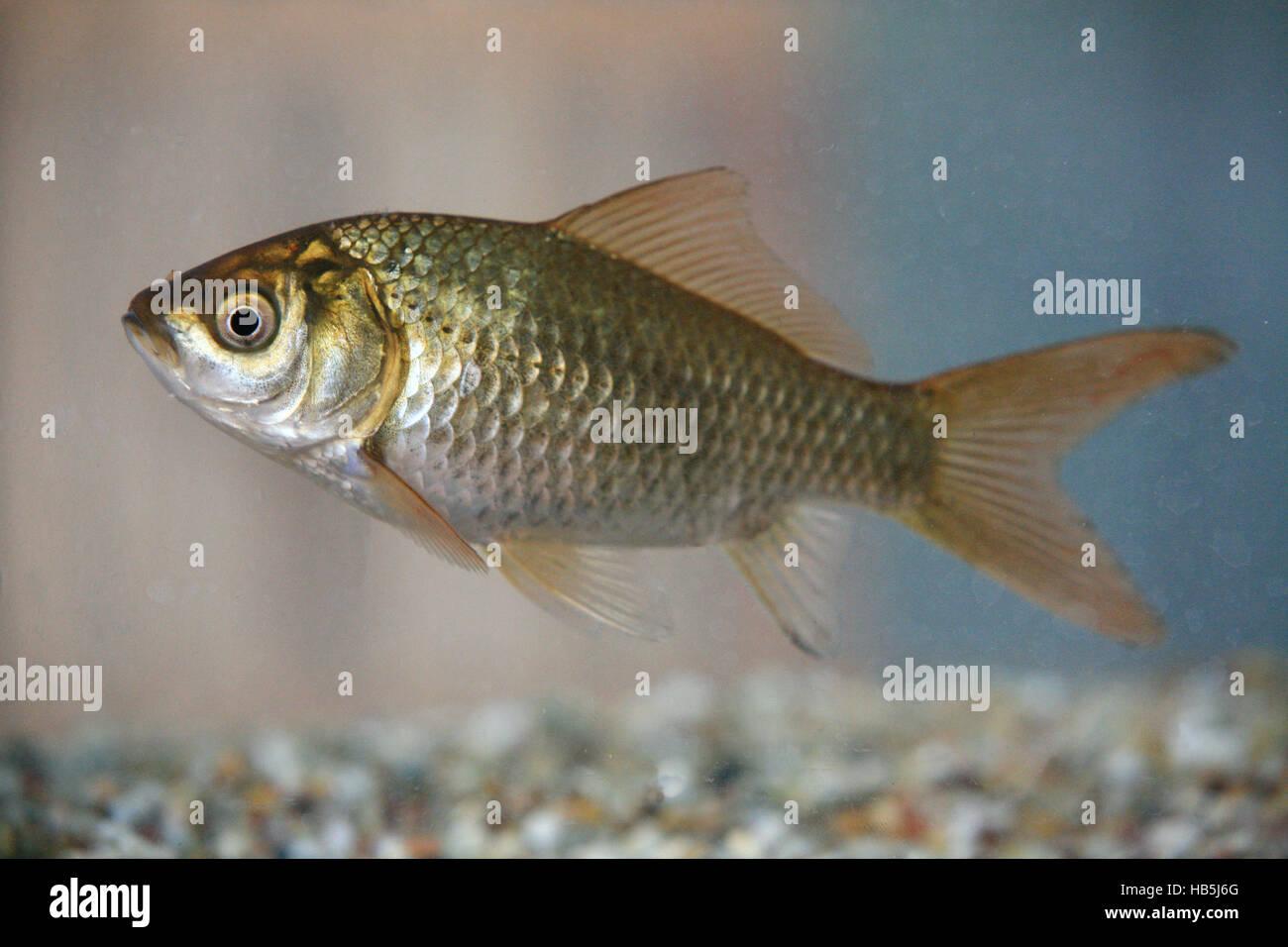 Goldfish, carassius auratus Stock Photo
