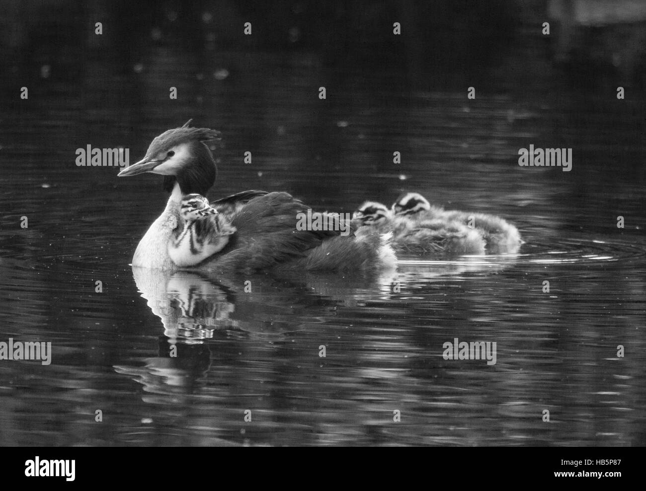 Great crested grebe - Stock Image