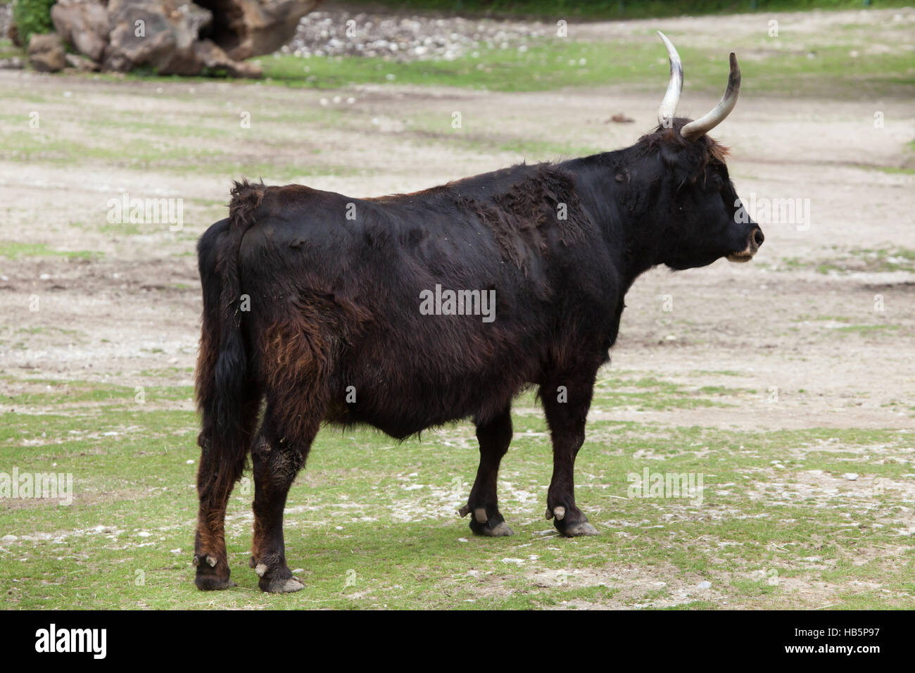 Heck cattle (Bos primigenius taurus), claimed to resemble the extinct aurochs at Hellabrunn Zoo in Munich, Bavaria, - Stock Image