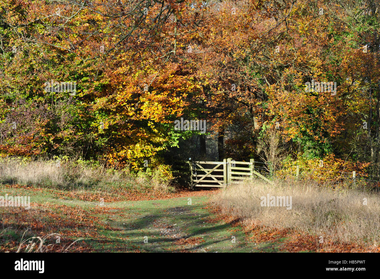 Autumn in the Chiltern Hills - footpath - woodland gate - ancient trees - russet green and gold leaves - sunlight - Stock Image