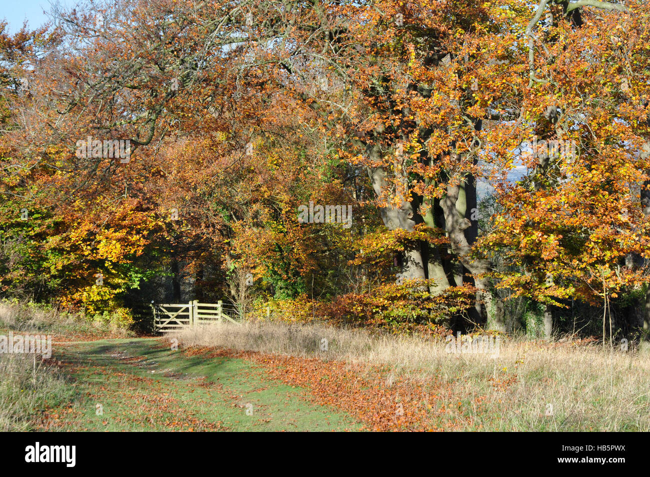 Autumn scene in the Chiltern Hills - footpath - woodland gate - trees - russet leaves sunlight and shadows - blue - Stock Image