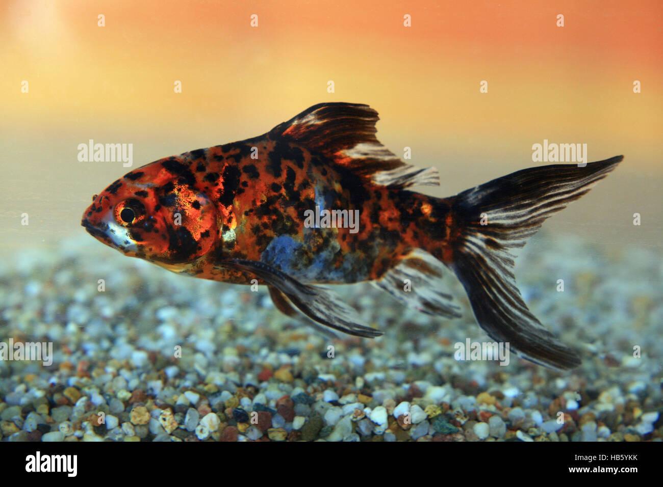 Shubunkin goldfish stock photo 127365271 alamy for Shubunkin im gartenteich