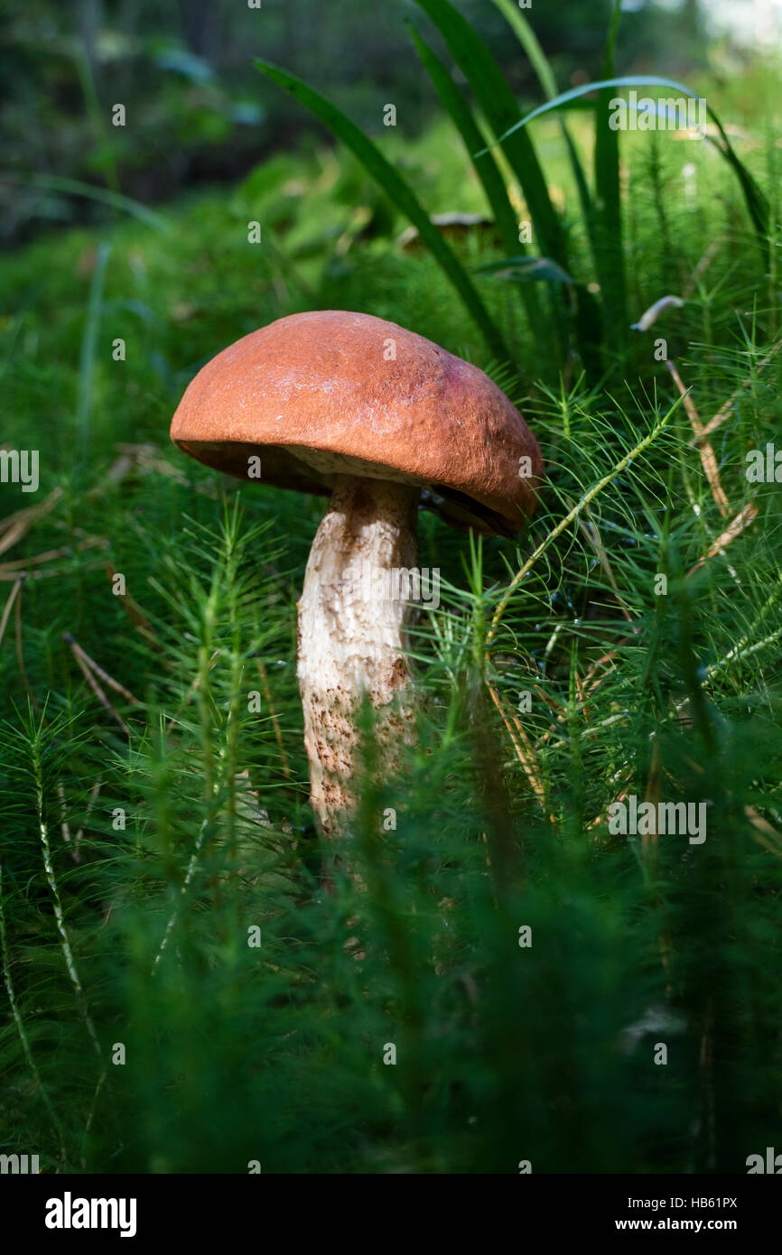 Leccinum mushroom in the forest - Stock Image
