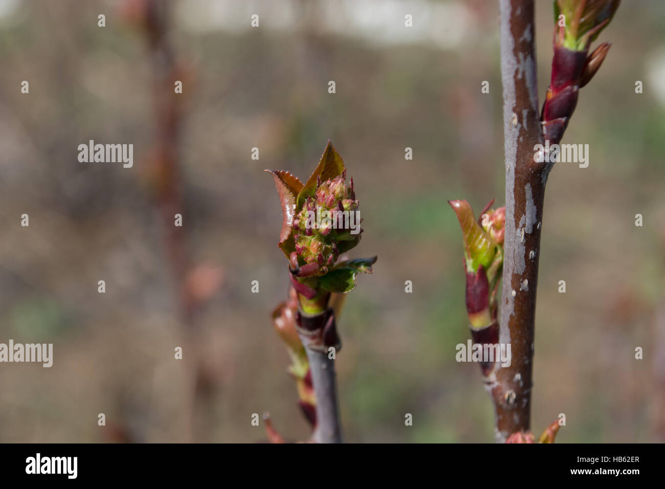 Buds on young twig - Stock Image