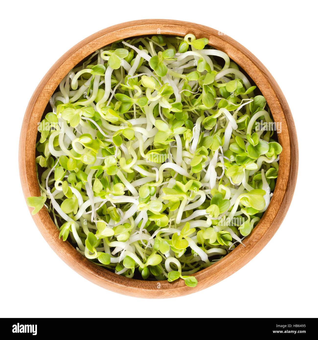 Radish sprouts in wooden bowl. Fresh yellow green germinated seeds of the root vegetable Raphanus sativus. Stock Photo