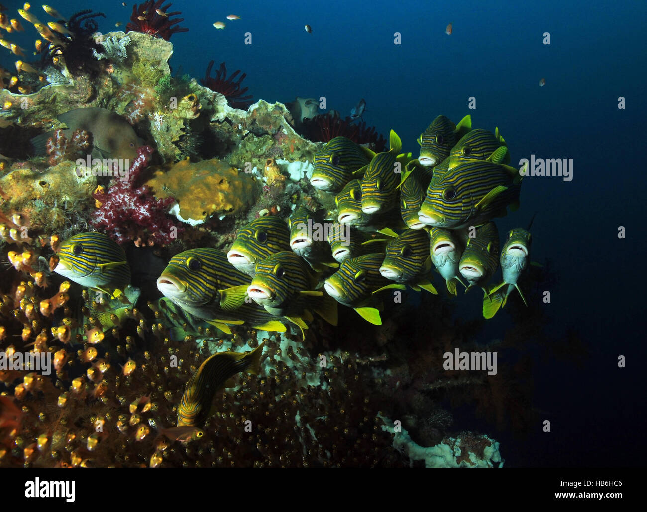 Schooling Glassfish and Ribboned Sweetlips at a Colorful Coral Reef. Raja Ampat, Indonesia - Stock Image