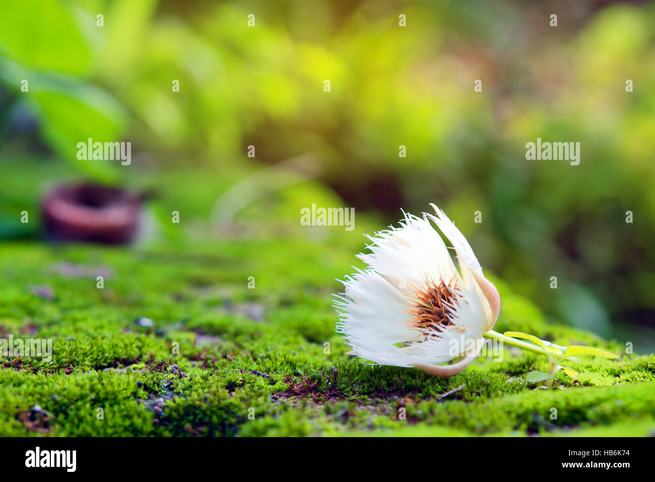 Elaeocarpus hainanensis or Elaeocarpus grandifloras flower on moss background (Also called as Elaeocarpaceae, Oxalidales, - Stock Image