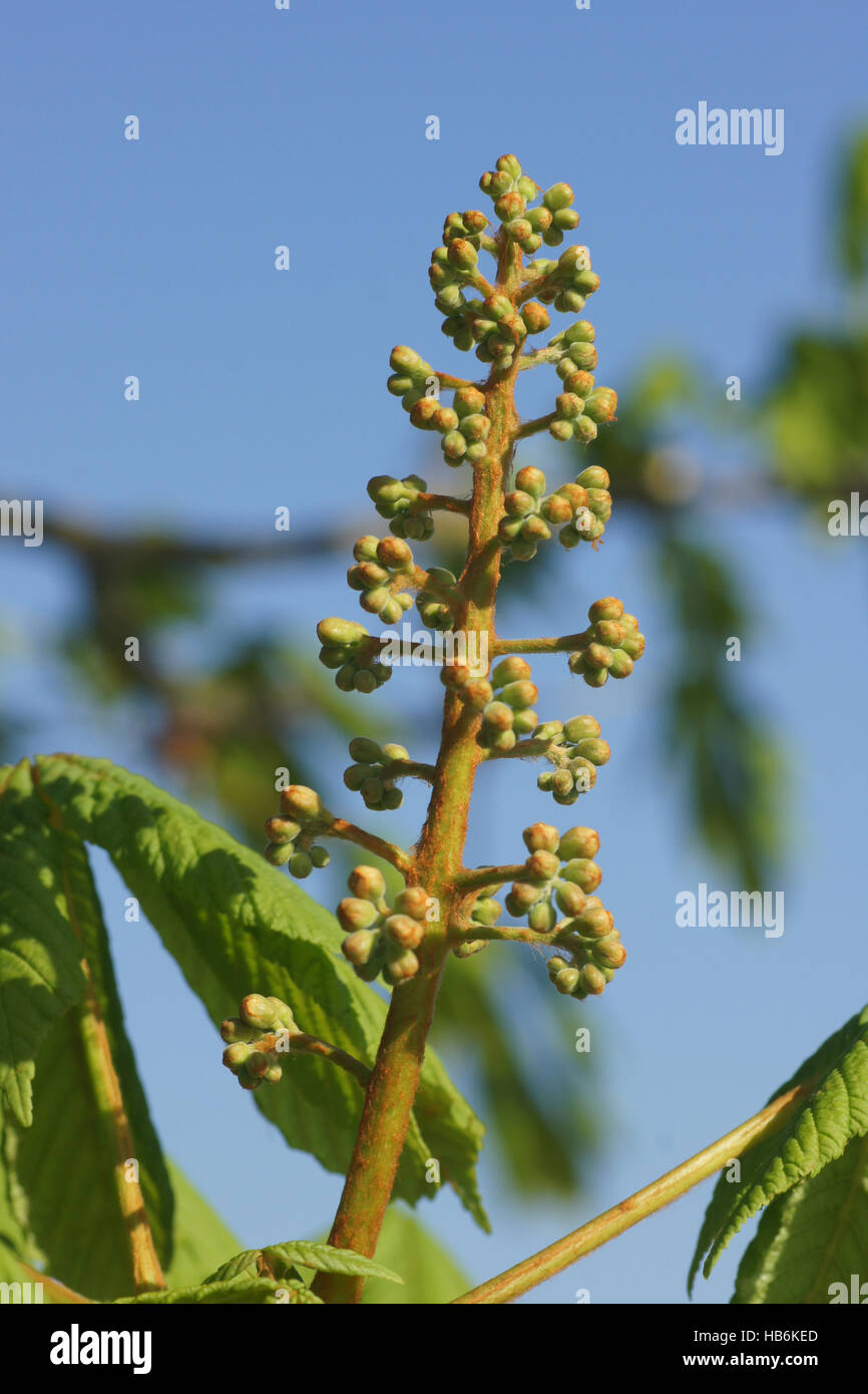Aesculus hippocastanum, Horse chestnut, buds Stock Photo