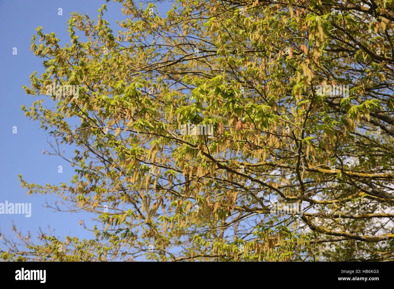 Carpinus betulus, Hornbeam - Stock Image