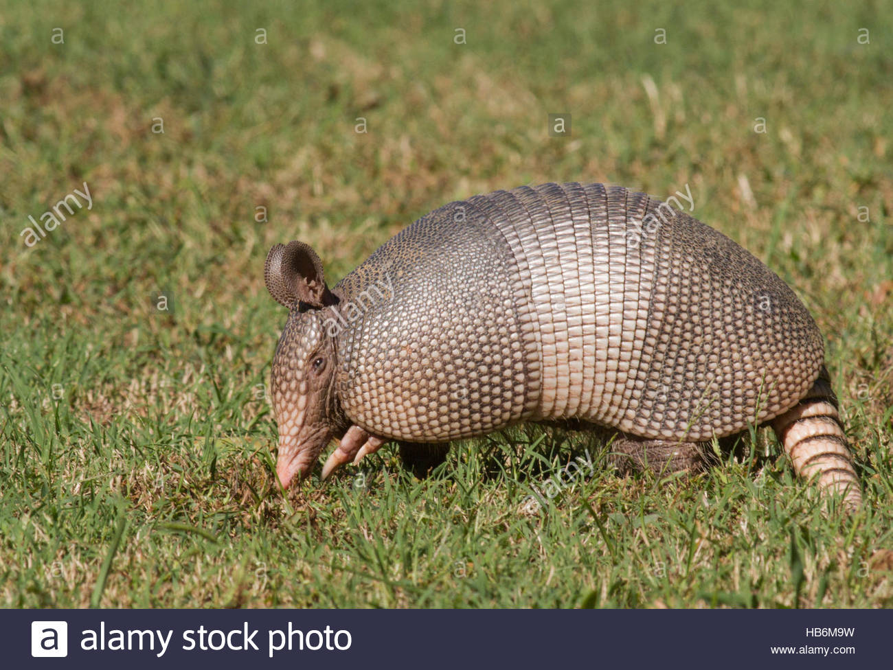 A hungry 9-Banded Armadillo (Dasypus novemcinctus) digging for food in a state park. - Stock Image