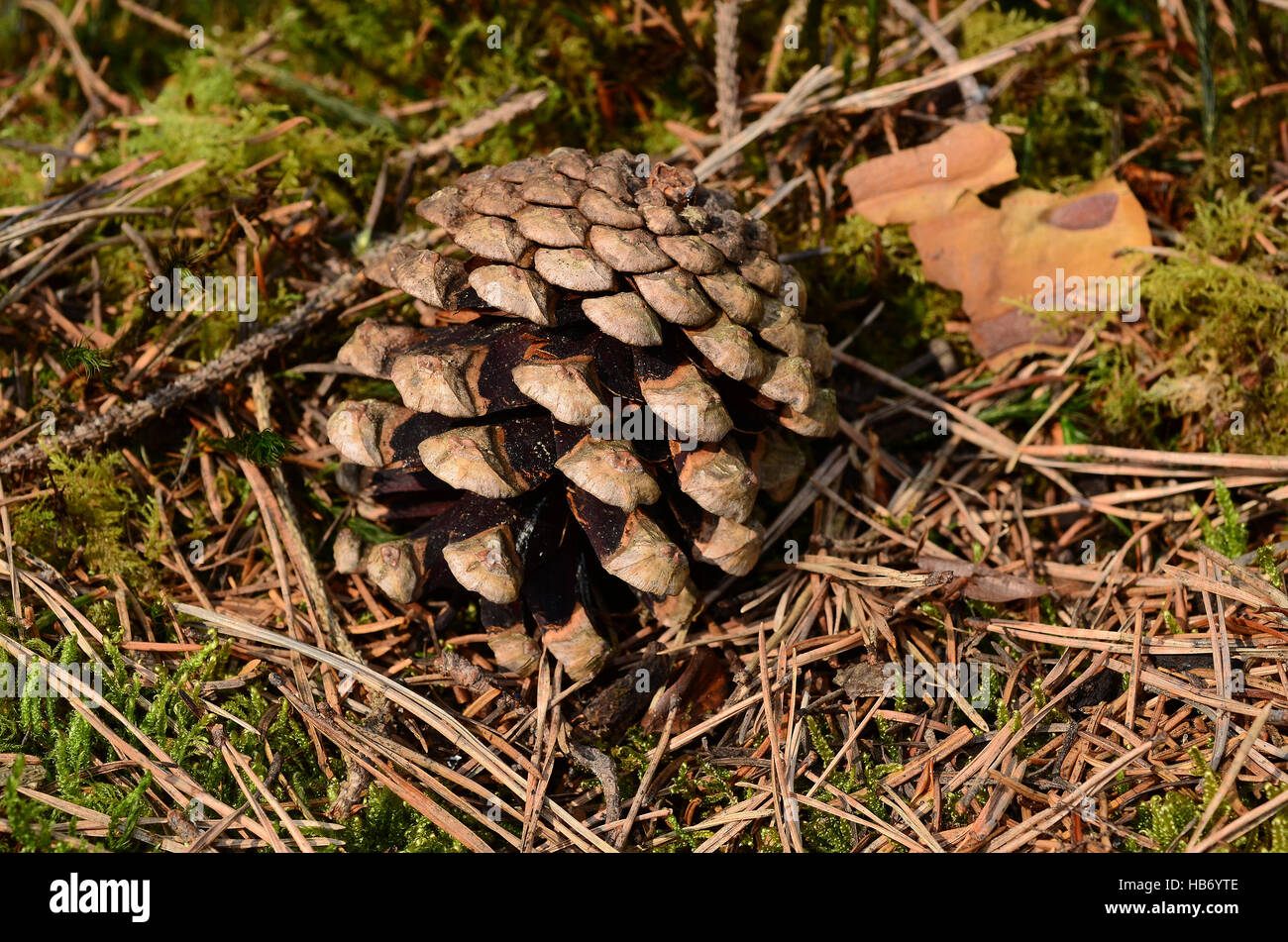 pine, pinewood, conifer, seed, cones, - Stock Image