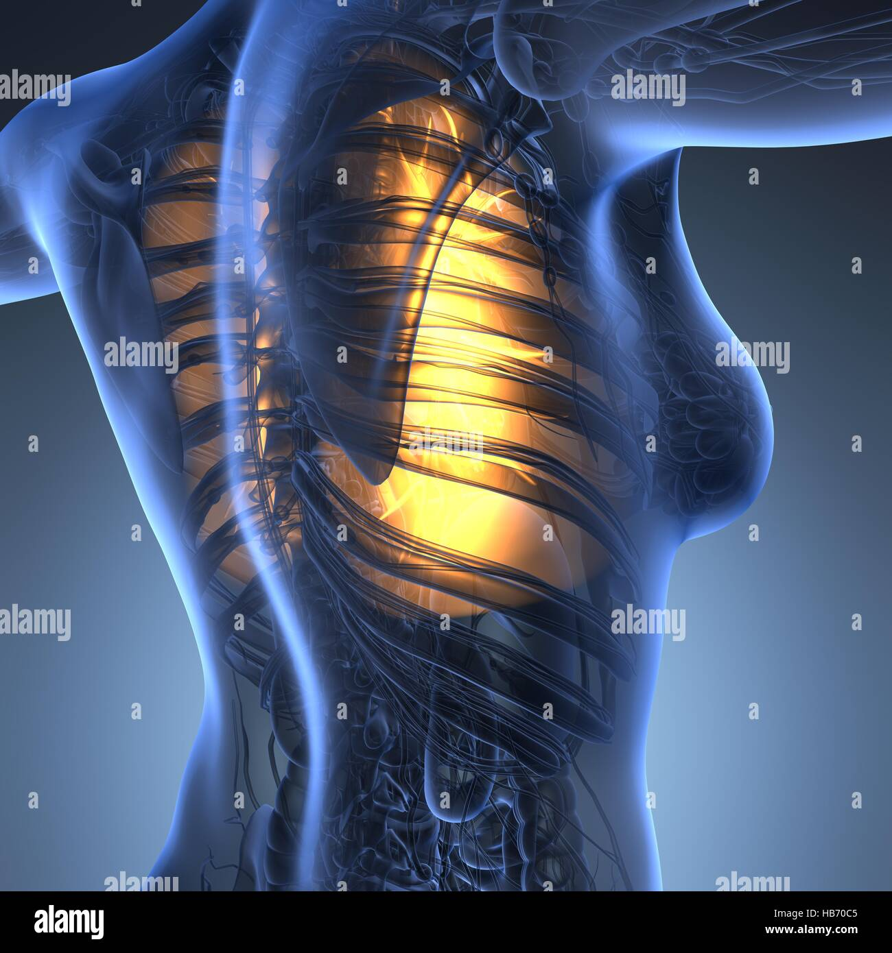 Science Anatomy Of Woman Body With Glow Lungs Stock Photo 127387797
