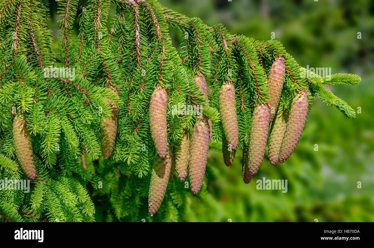 Christmas Tree - Norway spruce (Picea abies) - Stock Image