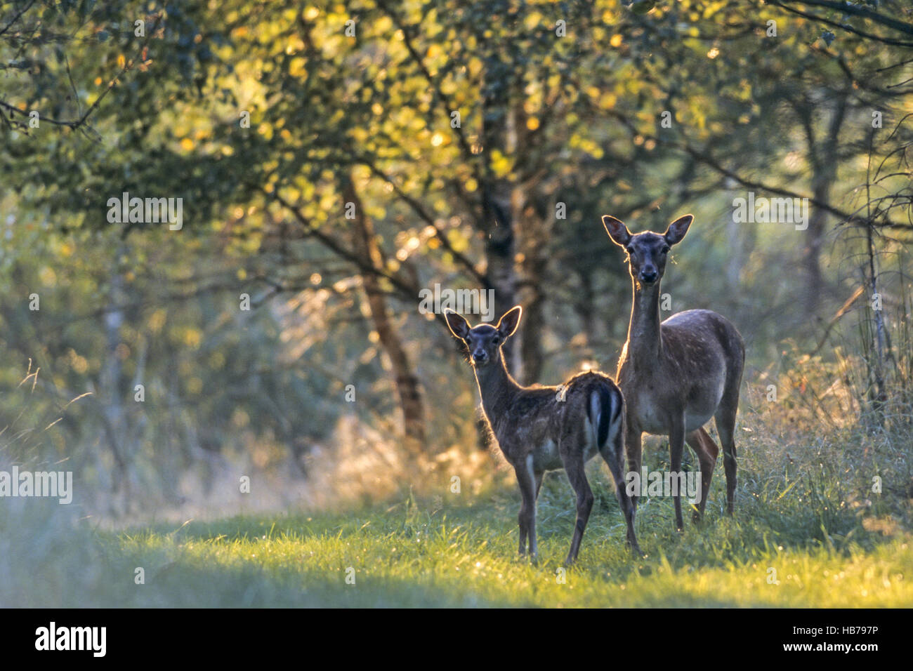 Fallow Deer doe and fawn in late summer Stock Photo